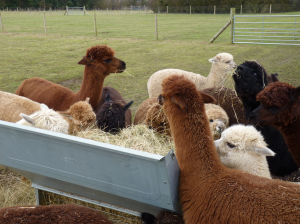 feeding your alpacas