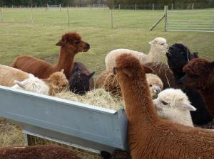 feeding your alpacas